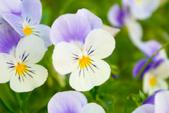 Pansies royalty free stock photos