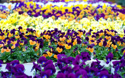Pansies. Field of colorful pansy flowers in a nursery Stock Photography