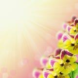 pansies Stock Afbeelding