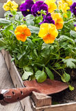 pansies Fotografie Stock