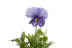 Pansies. On a white background Stock Photo