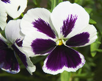 Pansies Stock Image