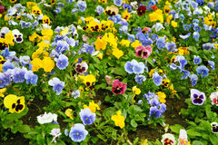 Pansies. Multi-coloured bright pansies on a bed with a green grass Stock Images