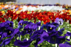 pansies Stock Foto