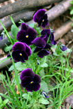Pansies. Spring flowers in my garden. Solar May day Stock Images