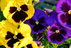 Pansies. Close up Royalty Free Stock Photography