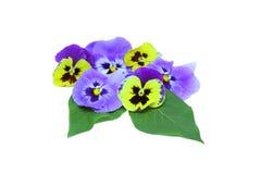 pansies royaltyfria foton