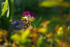 pansies Стоковые Фотографии RF
