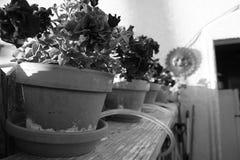 pansies Stockbilder