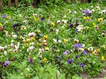 Pansies amarelos azuis vermelhos tricolor da viola no close up verde do macro do canteiro de flores Fotografia de Stock