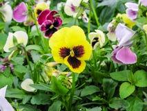 Pansies amarelos azuis vermelhos tricolor da viola no close up verde do macro do canteiro de flores Foto de Stock Royalty Free