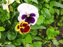 Pansies amarelos azuis vermelhos tricolor da viola no close up verde do macro do canteiro de flores Imagem de Stock Royalty Free