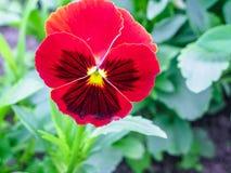 Pansies amarelos azuis vermelhos tricolor da viola no close up verde do macro do canteiro de flores Foto de Stock