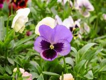 Pansies amarelos azuis vermelhos tricolor da viola no close up verde do macro do canteiro de flores Fotos de Stock Royalty Free