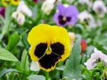 Pansies amarelos azuis vermelhos tricolor da viola no close up verde do macro do canteiro de flores Imagens de Stock Royalty Free