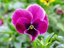Pansies amarelos azuis vermelhos tricolor da viola no close up verde do macro do canteiro de flores Imagem de Stock