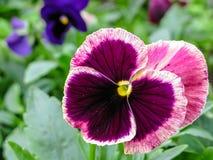 Pansies amarelos azuis vermelhos tricolor da viola no close up verde do macro do canteiro de flores Fotos de Stock
