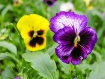 Pansies amarelos azuis vermelhos tricolor da viola no close up verde do macro do canteiro de flores Imagens de Stock