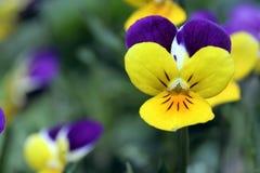 Pansies amarelos e roxos Fotografia de Stock Royalty Free