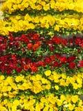 Pansies amarelos e vermelhos imagens de stock royalty free