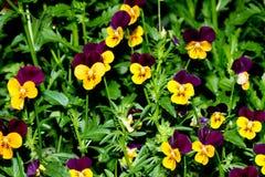 Pansies amarelos roxos Imagem de Stock Royalty Free