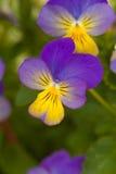 Pansies amarelos violetas Imagens de Stock