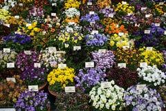 Pansies auf Bildschirmanzeige am Chelsea Blumen-Erscheinen Stockfoto