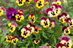Pansies background Royalty Free Stock Images