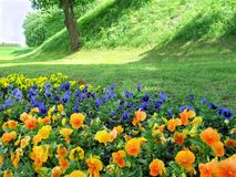 Pansies on the background of a hill with a tree stock photo