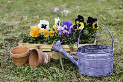 Pansies in a basket Royalty Free Stock Image