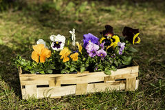 Pansies in a basket Stock Photography