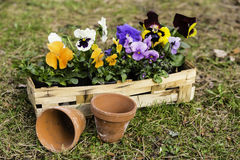 Pansies in a basket Royalty Free Stock Photo