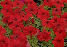 Pansies beautiful fragrant red pleasing to the eye Stock Photos