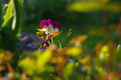 Pansies. Beautiful pansies in the garden Royalty Free Stock Photos