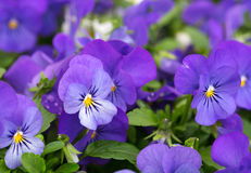 Pansies on a bed Royalty Free Stock Photos