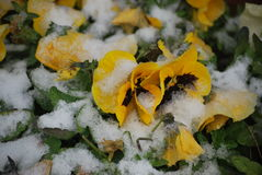 Pansies in a Blanket of Snow stock photo