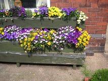 Pansies in bloemdozen Royalty-vrije Stock Foto