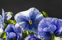 Pansies. The blooming blue Pansies in the spring Royalty Free Stock Image