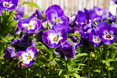 Pansies blooms. Purple and blue pansies bloom on a sunny day, detail of flower pansies in a flowerbed Stock Images