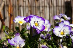 Pansies blooms. Purple and blue pansies bloom on a sunny day, detail of flower pansies in a flowerbed Stock Photos