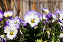 Pansies blooms. Purple and blue pansies bloom on a sunny day, detail of flower pansies in a flowerbed Royalty Free Stock Photo