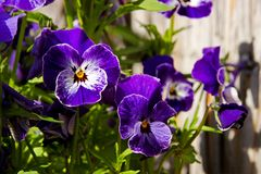 Pansies blooms. Purple and blue pansies bloom on a sunny day, detail of flower pansies in a flowerbed Royalty Free Stock Photos