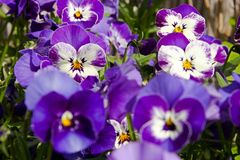 Pansies blooms. Purple and blue pansies bloom on a sunny day, detail of flower pansies in a flowerbed Stock Photography