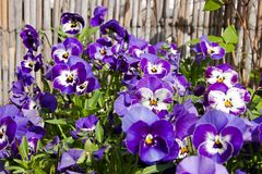 Pansies blooms. Purple and blue pansies bloom on a sunny day, detail of flower pansies in a flowerbed Stock Image
