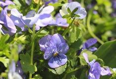 Pansies blu Fotografie Stock Libere da Diritti