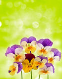 Pansies and bokeh Stock Photos
