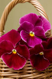 Pansies. Bouquet of pansies in a wicker basket Stock Photography