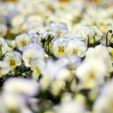 Pansies brancos Fotos de Stock
