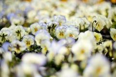 Pansies brancos Foto de Stock