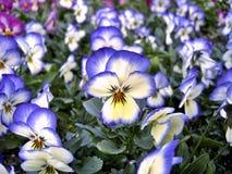 Pansies brancos & azuis Fotos de Stock Royalty Free